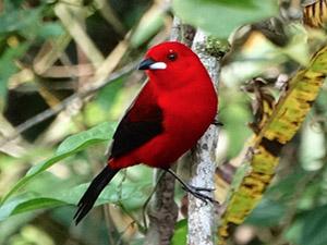 Observação de Aves no Guaraú – Juréia – Peruíbe/SP