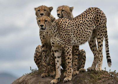 Serengeti Grande Migração-Tanzânia